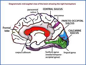 ¿existen diferencias entre el cerebro del hombre y la mujer?