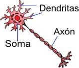 ¿El alcohol mata neuronas?